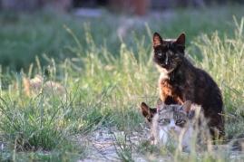 Le gatte